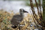 Brown Noddy chick