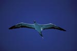 Red-footed Booby over the ocean