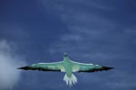 Red-footed Booby glides over the sea