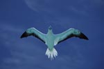 Flying Red-footed Booby