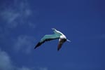 Flying Red-footed Booby (Sula sula)