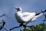 Red-footed Booby on eastern island