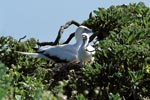 Red-footed Booby with chick