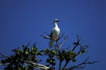 Red-footed Booby on the tree
