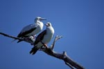 Red-footed Boobys on the tree