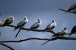 Red-footed Boobies on the tree