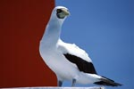 Masked Booby on a Navigation Sign Tower