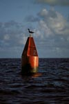 Brown Booby (Sula leucogaster) on a red buoy