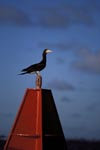 Brown Booby (Sula leucogaster) on a buoy