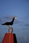 Brown Booby on a buoy