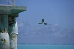 Flying Brown Booby (Sula leucogaster)