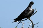Great Frigatebird