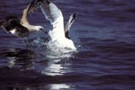 Kelp gulls argue over fish remains