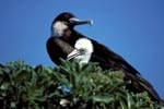 Great Frigatebird and Red-footed Booby chick