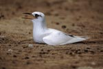 Red-tailed tropicbird on the ground
