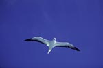 Red-footed Booby on Midway sky