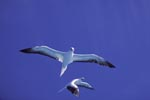 Flying Red-footed Boobys