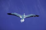 Red-footed Booby on the deep blue midway sky