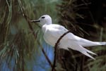 White tern surrounded by a branch