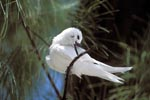 White tern on a midway tree
