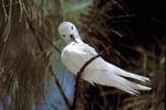 White tern cleans its feathers