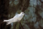 White tern on on a branch