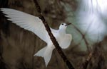 White tern on the tree