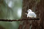 White tern on a branch