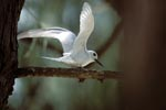 White tern lands on a branch