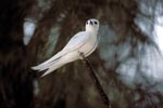White tern at the end of the branch