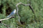 White tern on a thin branch