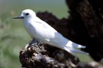 White tern on tree stump