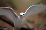 White tern spreading the wings