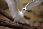 White tern with outstretched wings