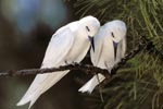 Resting White terns