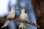 Two White terns on the tree
