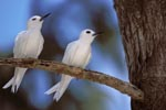 White terns on the tree