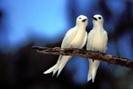 Two White terns