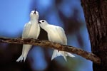 White terns feel well
