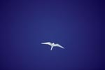 White tern against the blue sky