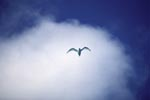 White tern against white cloud