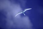White tern on the midway sky