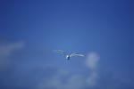 White tern near East Island