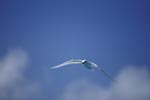 Flying White tern