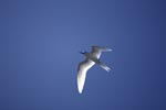 White tern over the Pacific Ocean