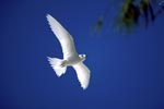 White tern comes back from the sea