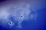 White terns on the midway sky