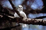 White tern chick on the tree