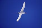 Red-tailed tropicbird on the way back from the sea