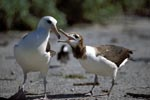Laysan albatross with chick